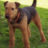 Airedale From NY